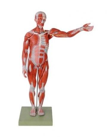 Figura muscular
